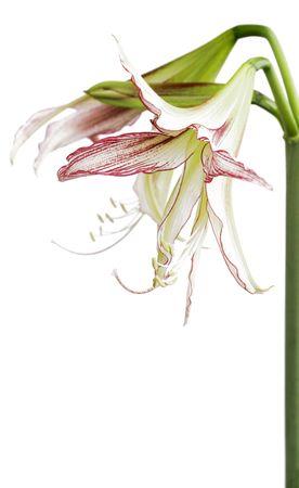 Hippeastrum cybister hybrid, variety  photo