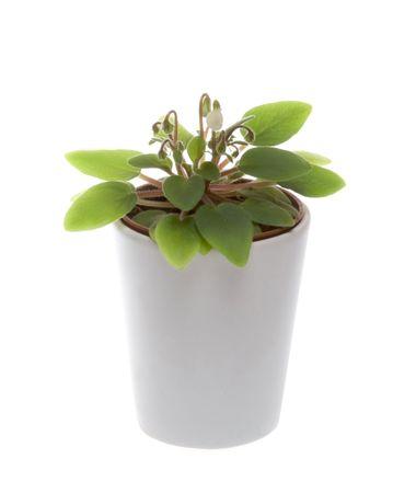 Miniature african violet aka senpolia in pot on the white background photo