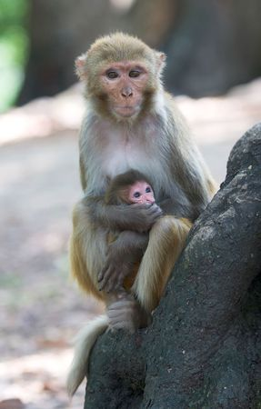 The rhesus macaque monkeys  Foto de archivo