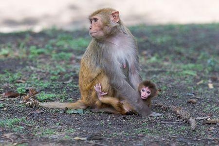 The rhesus macaque monkeys of  Reklamní fotografie