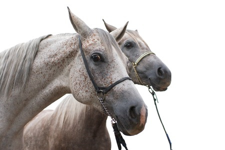 Two arabian horse isolated on white background Stock Photo