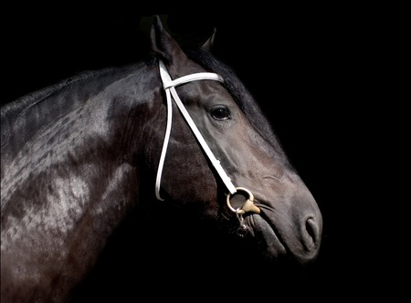 shire horse: Shire horse isolated on the black background