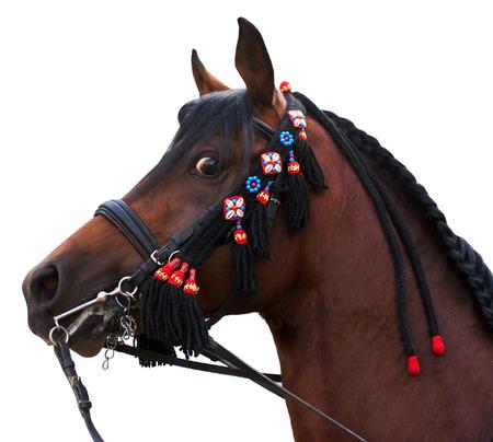 carreras de caballos: Arabia semental bahía aislada en el fondo blanco Foto de archivo