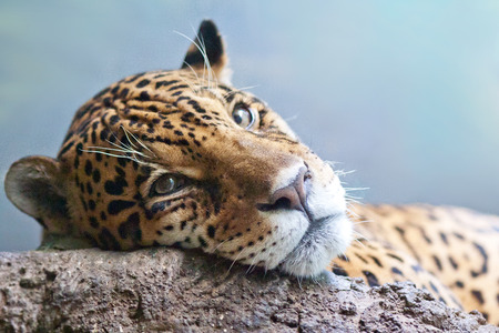 onca: Jaguar Panthera onca close up on blurred background Stock Photo