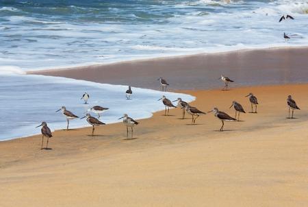 Flock of Curlew sandpiper Calidris ferruginea on the sea shore