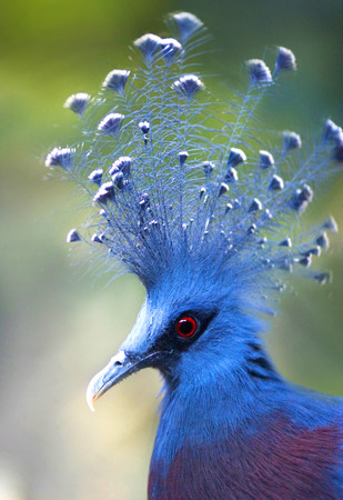strikingly: Victoria Crowned Pigeon Goura Victoria with blue plumage a blue and white crest and a strikingly bright red eye