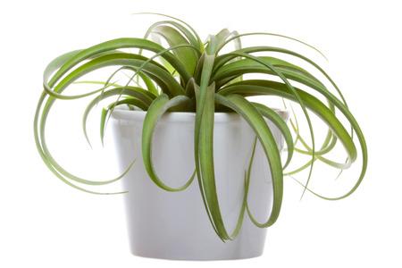 tillandsia: Tillandsia hybrid Concolor and Streptophylla in a ceramic pot on white backround