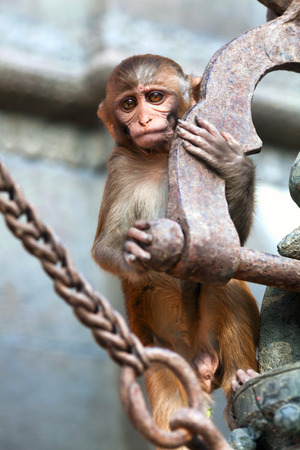 The rhesus macaque monkey at Pashupatinath Temple in Kathmandu, Nepal Stock Photo