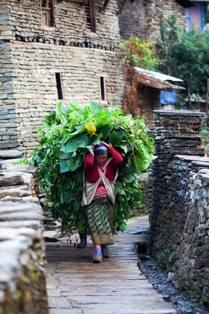 pauper: Gurung woman with trusses walking on the road on December 17, 2009 in Ghandruk, Annapurna Conservation Area, Nepal. Editorial