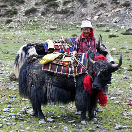 pauper: SHEY, NEPAL - SEPTEMBER 4: Tibetan nomad with yaks working at Shey Gompa on September 4, 2011 in Shey village, Nepal