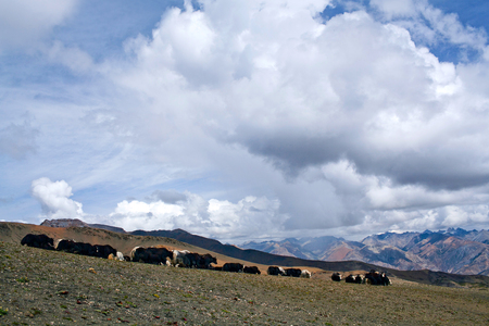 drover: Herd of yaks on the Shey La pass in the Nepal Himalaya Stock Photo