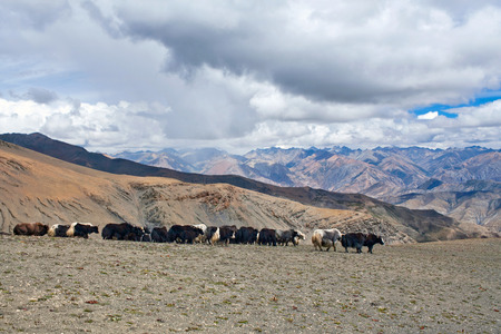 bos: Caravan of yaks in the Nepal Himalaya. The yak Bos grunniens and Bos mutus is a long-haired bovid found throughout the Himalaya region of south Central Asia, Tibetan Plateau and Mongolia.