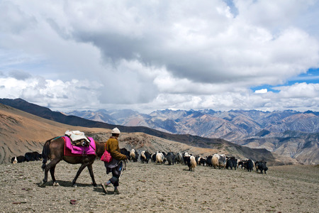 bos: Caravan of yaks in Dolpo, Nepal Himalaya. The yak Bos grunniens and Bos mutus is a long-haired bovid found throughout the Himalaya region of south Central Asia, Tibetan Plateau and Mongolia.