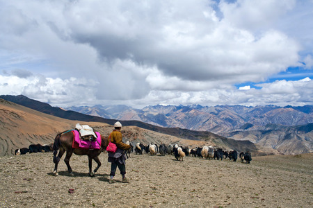 bovid: Caravan of yaks in Dolpo, Nepal Himalaya. The yak Bos grunniens and Bos mutus is a long-haired bovid found throughout the Himalaya region of south Central Asia, Tibetan Plateau and Mongolia Stock Photo