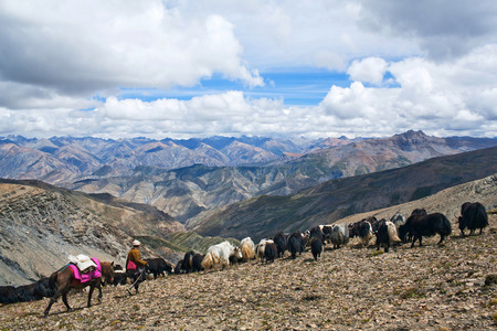 bos: Caravan of yaks in Dolpo, Nepal Himalaya. The yak Bos grunniens and Bos mutus is a long-haired bovid found throughout the Himalaya region of south Central Asia, Tibetan Plateau and Mongolia Stock Photo