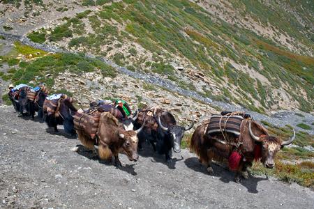 drover: Caravan of yaks in the Nepal Himalaya