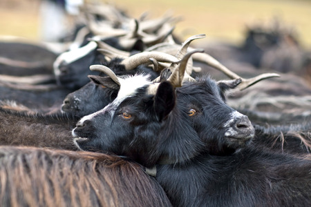 drover: Herd of goats in the Nepal Himalaya