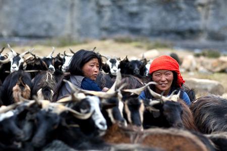 drover: DHO TARAP, NEPAL - SEPTEMBER 08: Tibetan women milking a goats on September 08, 2011 in Dho Tarap Village, Dolpo, Nepal