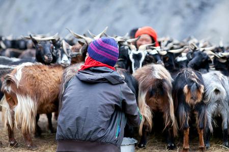 drover: DHO TARAP, NEPAL - SEPTEMBER 08: Tibetan drovers milking a goats on September 08, 2011 in Dho Tarap Village, Dolpo, Nepal