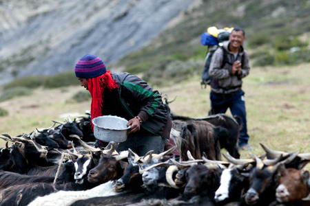 drover: DHO TARAP, NEPAL - SEPTEMBER 08: Tibetan drover milking a goat on September 08, 2011 in Dho Tarap Village, Dolpo, Nepal
