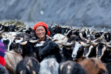 drover: DHO TARAP, NEPAL - SEPTEMBER 08: Tibetan woman milking a goat on September 08, 2011 in Dho Tarap Village, Dolpo, Nepal Editorial