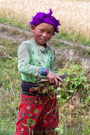 indigence: DHO TARAP, NEPAL - SEPTEMBER 10: Tibetan girl working in the fields on September 10, 2011 in Dho Tarap, Upper Dolpo, Nepal Editorial