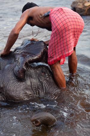periyar: KODANADU - 17 FEBRUARY: Man washing his elephant  on the banks of river Periyar on February 17, 2010 at the famous Kodanadu Elephant training centre in Kerala State, South India