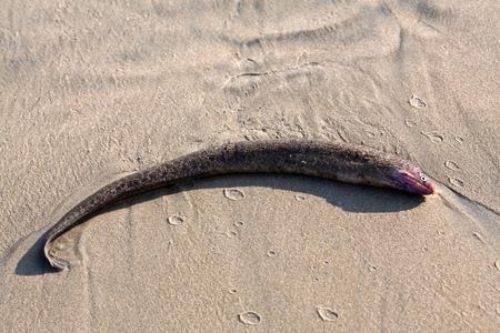 longfin: Conger eel on a sandy beach Stock Photo
