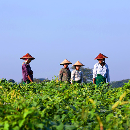 Burmese women working in the fields on January 12, 2011 in Amarapura, Myanmar Editorial