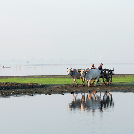 draughts: Burmese farmers riding on the harness of draughts on January 12, 2011 in Amarapura, Myanmar