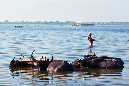 herdsman: Group of water buffalo over water in Amarapura, Mandalay Division, Myanmar. The water buffalo or domestic Asian water buffalo Bubalus bubalis is a large bovid originating in South Asia, Southeast Asia, and China. Stock Photo