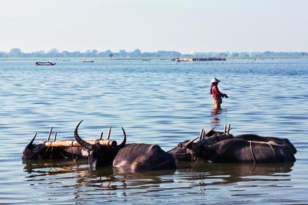 bovid: Group of water buffalo over water in Amarapura, Mandalay Division, Myanmar. The water buffalo or domestic Asian water buffalo Bubalus bubalis is a large bovid originating in South Asia, Southeast Asia, and China. Stock Photo