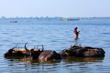 herdsman: Group of water buffalo on Taungthaman lake in Amarapura, Mandalay Division, Myanmar. The water buffalo or domestic Asian water buffalo Bubalus bubalis is a large bovid originating in South Asia, Southeast Asia, and China.