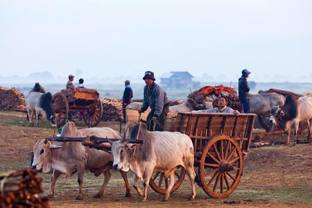 ドラフト 2011 年 1 月 17 日ニャウンシェ、シャン州、ミャンマーでの毎週の市場への道を運転のハーネスを持つビルマ農民のニャウンシェ、ミャンマ 報道画像