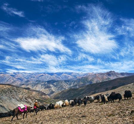 An unidentified Tibetan nomad with herd of yaks walking across Shey La pass in Dolpo region in the Nepal Himalaya