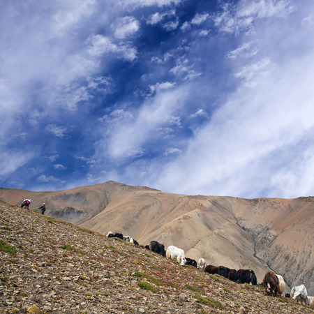 Herd of yaks walking across mountain pass in the Nepal Himalaya