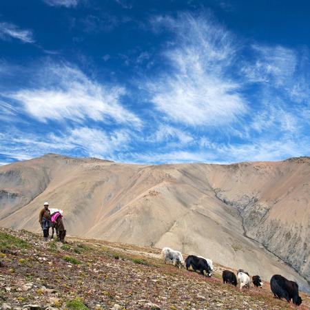 drover: SHEY LA, NEPAL - SEPTEMBER 5: Tibetan nomad with yaks walking across Shey La pass on September 5, 2011 in the Nepal Himalaya