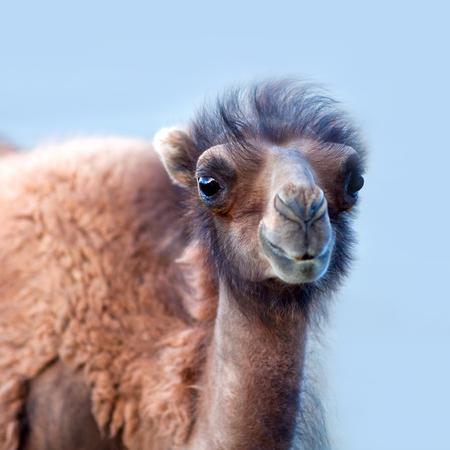 Bactrian Camel in desert of Nubra valley, Ladakh, North India