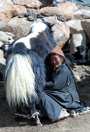 drover: LADAKH, INDIA - JUNE 15, 2012: Tibetan woman in national clothes milking yak cow by hands in Ladakh, Jammu and Kashmir, North India