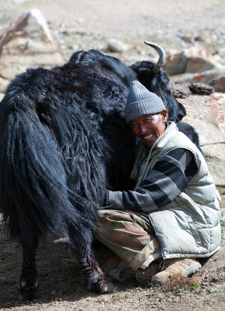 india cow: LADAKH, INDIA - JUNE 15, 2012: Tibetan nomad milking yak cow by hands in Ladakh, Jammu and Kashmir, North India