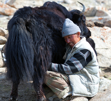 drover: LADAKH, INDIA - JUNE 15, 2012: Tibetan nomad milking yak cow by hands in Ladakh, Jammu and Kashmir, North India