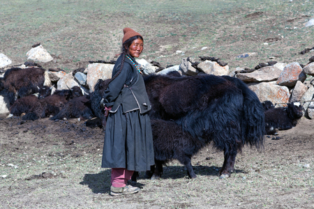 drover: LADAKH, INDIA - JUNE 15, 2012: Tibetan woman in national clothes standing near her yaks on pasture in Ladakh, Jammu and Kashmir, North India Editorial