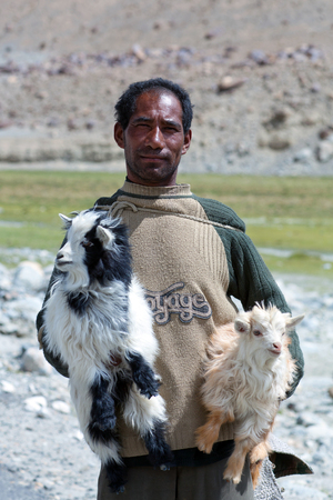 LADAKH, INDIA - JUNE 15: Changpa nomad with angora goat walking on the road to Spangmik village on June 15, 2012 in Ladakh, Jammu and Kashmir State, North India