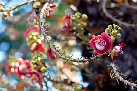 plants species: Shorea robusta, noto anche come Sal o albero Shala, è una specie di albero appartenente alla famiglia Dipterocarpaceae Archivio Fotografico