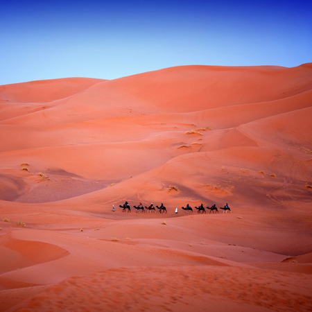 erg: Camel trekking in Erg Chebbi, Western Sahara, Morocco