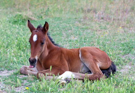 Little baby horse laying on a fresh green grass in the mountain meadow