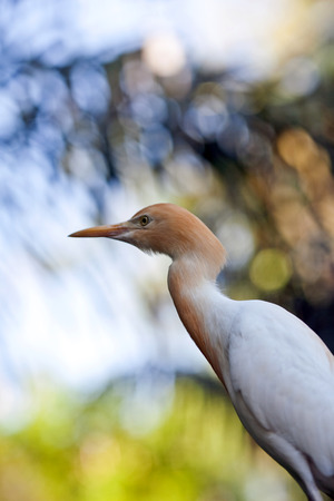ardea: Cattle Egret (Bubulcus ibis) heron on the blurred background Stock Photo