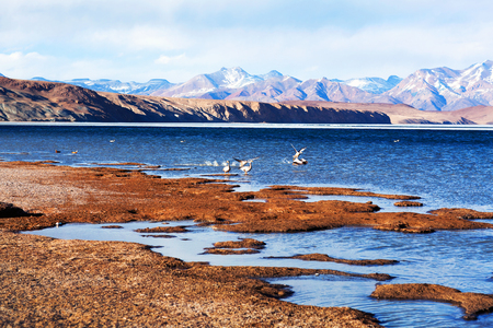 Bar-headed goose flying off at Manasarovar lake in Western Tibet. The bar-headed goose is a goose that breeds in Central Asia in colonies of thousands near mountain lakes and winters in South Asia.