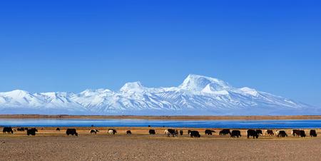 Panorama of Gurla Mandhata Mount and herd of yaks in Tibet, China. Gurla Mandhata is the highest peak of the Nalakankar Himal, a small subrange of the Himalaya.