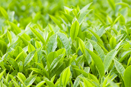 Fresh leaves of green tea close up background Stock Photo